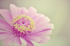 Flower, Pink, Daisy, Petal