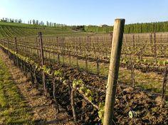 """Dalle uve che si coltivano nascono i vini dell'azienda tra cui: """"Il Pollenza"""", blend di Cabernet Sauvignon, Merlot, Cabernet Franc e Petit Verdot; """"Cosmino"""", Cabernet Sauvignon in purezza; """"Porpora"""", Merlot e Montepulciano; """"Angera"""", bianco autoctono 100% Maceratino."""