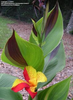 PlantFiles Pictures: Canna, Canna Lily 'Cleopatra' (Canna x generalis) by Tropical Flowers, Exotic Flowers, Tropical Plants, Beautiful Flowers, Tropical Gardens, Canna Lily Landscaping, Tropical Landscaping, Landscaping Plants, Garden Plants