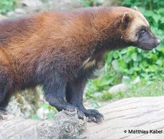 Rare and elusive wolverines are threatened by trapping and climate change. Help save these animals before the last 300 wolverines in the Lower 48 disappear forever.