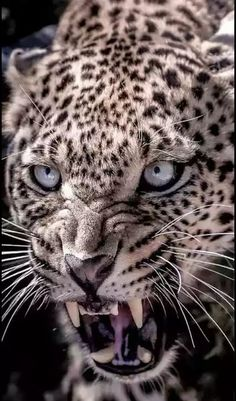Best Jaguar Photos You Never Seen Before - Animals Comparison Angry Animals, Animals And Pets, Cute Animals, Big Cats, Cats And Kittens, Cute Cats, Beautiful Cats, Animals Beautiful, Beautiful Pictures