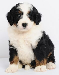 8 weeks old mini Bernedoodle puppy from Swissridge kennels.  www.swissridgekennels.com