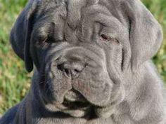 Adorable Neapolitan Mastiff puppy