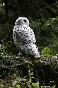 Beautiful Nature - Owl by Szczur88 on DeviantArt