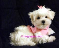 Google Image Result for http://www.tinypuppy.com/maltese%2520puppy.jpg