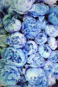 blue peonies~~~ PLEASE TELL ME WHERE TO FIND FRESH BLUE PEONIES!!!!~~~