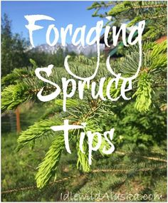 Foraging- that wonderful way of gathering free food. I went foraging spruce tips recently. Learn how to prepared and store them for immune boosting tea!