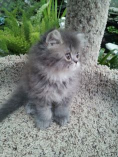 Blue tabby persian | Blue Tabby (Doll face) female Persian *SOLD* | Liz Top Cat