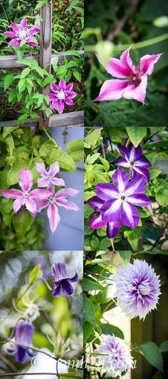 How and Where to Grow Clematis | Clematis is a very versatile and easy to grow vine with so many redeeming qualities that it should be on every gardener's favorite perennials list. Open this post to learn more about how to grow this beautiful vine.