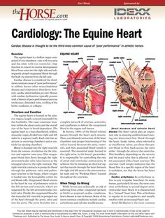 [FREE REPORT] Cardiology: The Equine Heart - TheHorse.com | Download this free PDF to learn more about the anatomy and structure of the horse's heart. #horsehealth #hearthealth #AmericanHeartMonth