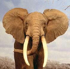 El elafante trom