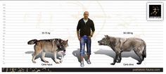 Size comparison of the Grey Wolf (left) and Dire Wolf (right).