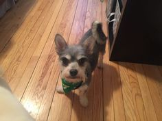 Pin By Cindy Feiler Jampel On Furniture Pets Schnauzer Mix