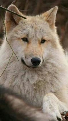 This wolf is so pretty and posing so serenely.
