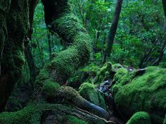 Moss covered roots, Yakushima island, Japan: photo by caseyyee, via Flickr