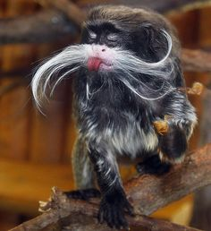 A moustachioed Emperor tamarin sticks its tongue out at Fürth-Erlenbach Mountain Zoo in Fürth, Germany