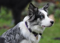 blue merle border collie puppies - Google Search