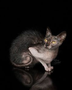 Lykoi cat Pretty Kitty, Pretty Cats, Beautiful Cats, Lykoi Cat, Werewolf Cat, Catus, Feral Cats, Cattery, Special Girl