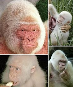 As the only albino gorilla to be raised in captivity, Snowflake delighted visitors for nearly 40 years before dying of skin cancer in late Primates, Mammals, Amphibians, Gorila Albino, Albino Gorilla, Silverback Gorilla, Melanism, Albinism, Chimpanzee