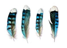From my original watercolor studies of Blue Jay Feathers. One of my most popular prints. The North American Blue Jay is such a raucous, fun bird to have. Four Blue Jay Feathers Watercolor Feather, Feather Painting, Feather Print, Watercolor Ideas, Watercolor Print, Blue Jay, New Blue, Jay Bird, Blue Bird