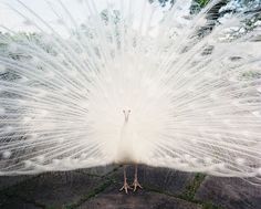 Animal Photo - A white peacock roaming the grounds at Cherryfields