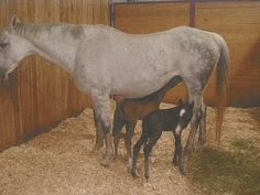 """A horse owned by a Shelbyville woman recently beat the odds when she gave birth to a healthy set of twin foals. Twin  foals  that survive are very, very rare  ... In your reports think it is about a one in 10,000 chance that both will survive,"""" said Dr. Monty  McInturff, the veterinarian from  the Tennessee Equine Hospital who delivered the twins. """"I have seen one set of twins prior to this to be born healthy and survive.""""..."""