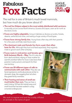 Some fabulous fox facts for Foxy Feb www.league.org.uk/foxyfeb Fantastic Fox, Fabulous Fox, Fox Spirit, Spirit Animal, Animal Facts, My Animal, Nocturnal Animals, Cute Animals, Fox Information