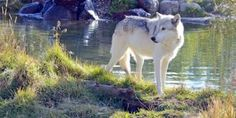 Oppose Bill H. R. 2406 That Would Endanger Wolves & Other Wildlife