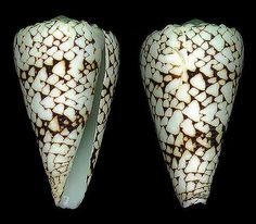 Conus (Conus) bandanus  Hwass, C.H. in Bruguière, J.G., 1792 Banded Marble Cone   Shell size 45 - 150 mm   Indo-W Pacific