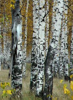 """Birch Tree Forest"" by I. Spadecaller ""Birch Tree Forest"" by I. Birch Tree Mural, Birch Tree Decor, Birch Trees, Pine Tree Tattoo, Cool Tree Houses, Tree Artwork, Aspen Trees, Watercolor Trees, Tree Wallpaper"