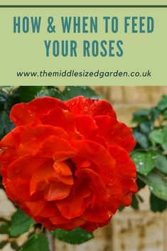 Expert advice on growing roses in small gardens, back yards and front yards from the amazing rose garden at Hever Castle. #gardening #garden #roses #backyard Low Maintenance Garden Design, Growing Roses, Garden Roses, Front Yards, Colorful Garden, Small Gardens, Raised Beds, Beautiful Roses, Castle