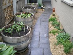 wine barrel vegetable garden-- i'm thinking in front of the ugly chain-link.