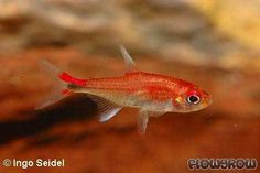 Axelrodia riesei - Roter Pfeffersalmler - Flowgrow Fish Database