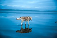 Magical Photos Of Siberian Huskies Playing On A Mirror-Like Frozen Lake In Russia's Arctic Region