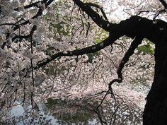SAKURA   水辺の櫻はなまめかしい