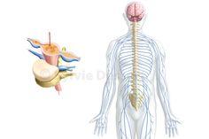 Cerveau tonic - Système nerveux