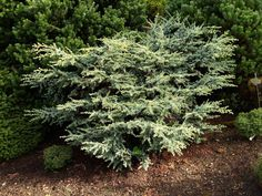 Cedrus atlantica 'Sapphire Nymph' - Conifer Kingdom