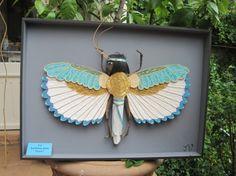 boite entomologie sauterelle égyptienne