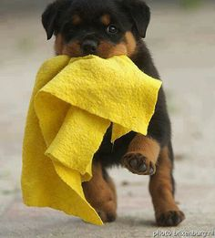 Rottweiler, when your puppy brings you a supper shamy, he just might be trying to tell you something