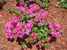 Bushy Bougainvillea Fast growing medium to large shrubs Bright colorful flowers and dense green foliage Red, coral and pink are the most p. Florida Landscaping, Florida Gardening, Tropical Landscaping, Landscaping Plants, Florida Lanai, Naples Florida, Garden Shrubs, Drought Tolerant Plants, Landscape Plans