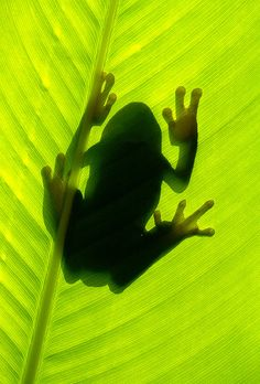 tree frog sillouette