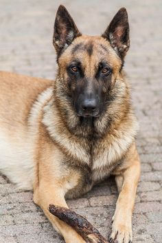 Belgian Malinois. We finally figured out this is what our humane society adoption dog is !