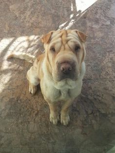 Elsa is an adoptable Shar Pei Dog in Lake Forest, CA Elsa is a cream female shar pei. She was rescued from a southern California shelter.  She is SU ... ...Read more about me on @petfinder.com