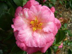 Camellia japonica 'Sweetii Vera' (U.S., 1936)