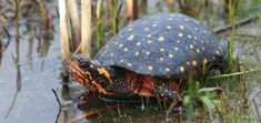 Spotted Turtle (Polka-Dot Turtle) - Clemmys guttata - Appearing to be brush-flecked spots, the Spotted turtle has anywhere from zero to 100 yellow-orange spots on its neither keeled nor edge-serrated carapace. It lives in small, shallow bodies of water; bogs, marshes, fens, coastal wetlands and small ponds - Image : © Joe Crowley