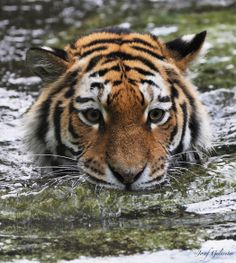 Tigress Water Focus