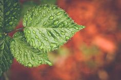 Raspberry Leaf Background by BrightSpace on Creative Market