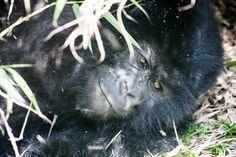 Gorilla Trekking 24