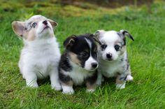 corgi #puppy  #corgi #cowboycorgi #cowboy #corgimix Cowboy Corgi, Corgi Mix, Cardigan Welsh Corgi, Corgis, Dog Lovers, Addiction, Puppies, Cute, Animals