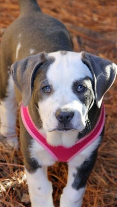 Our beautiful girl.   American Bulldog Pitbull mix.  11 weeks old and 24 pounds.